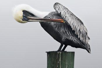Shem Creek Pelican